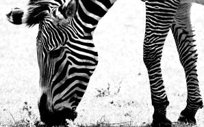 И все-таки, какого цвета зебра?