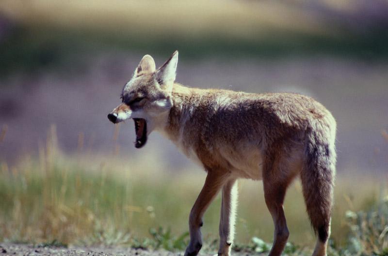Йеллоустонский национальный парк (36)