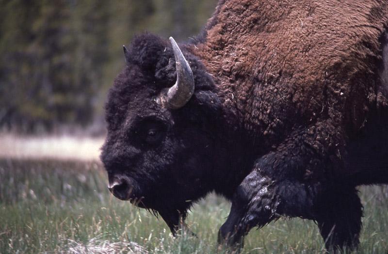 Йеллоустонский национальный парк (19)