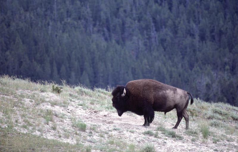 Йеллоустонский национальный парк (18)