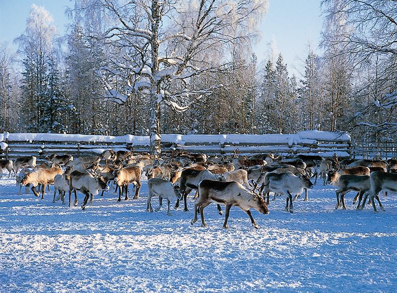 Северные олени. Финляндия (Suomi) Лапландия