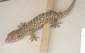 gekkon1