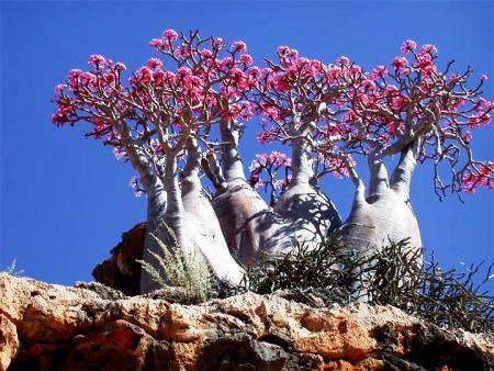 Socotra _ Desert Rose