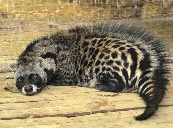 musk cat