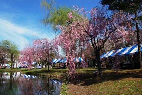 Sakura_of_Yuzawa_Chuo_Park