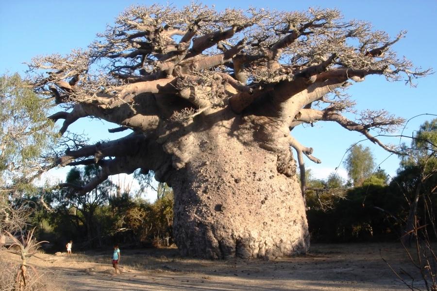 Баобаб — символ Африки