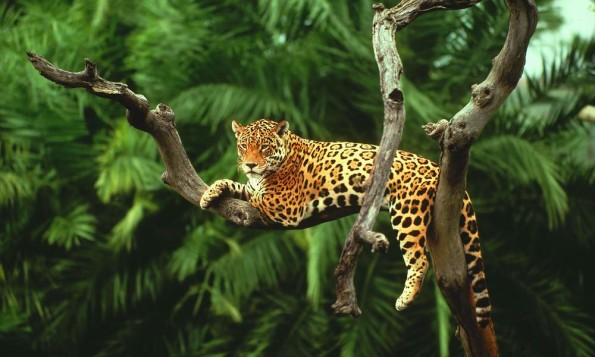 Jaguar (Panthera onca) in a tree Pantanal, Brazil.