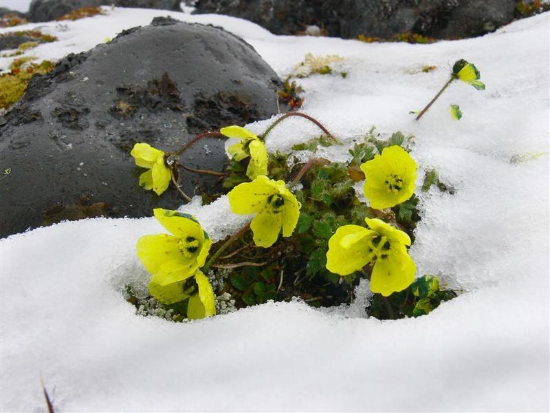 Растительный мир арктических пустынь