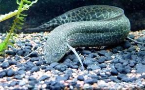Рыбы, которые спят под землей.